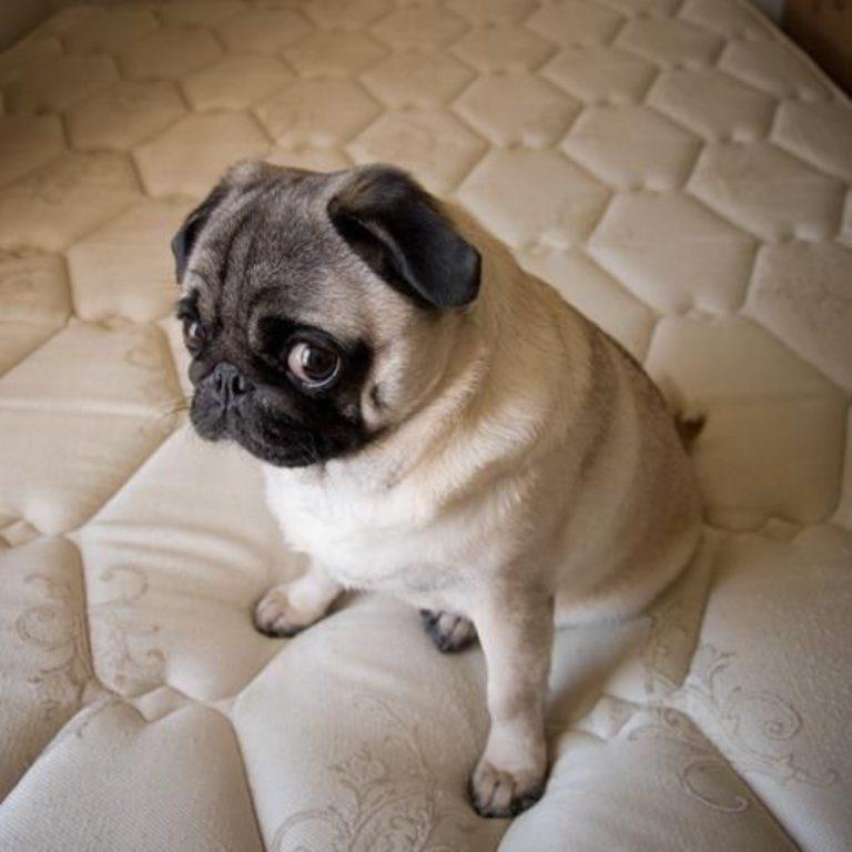 a09236392ea8865cdcd73281ceb243a1--pug-puppies-pug-dogs